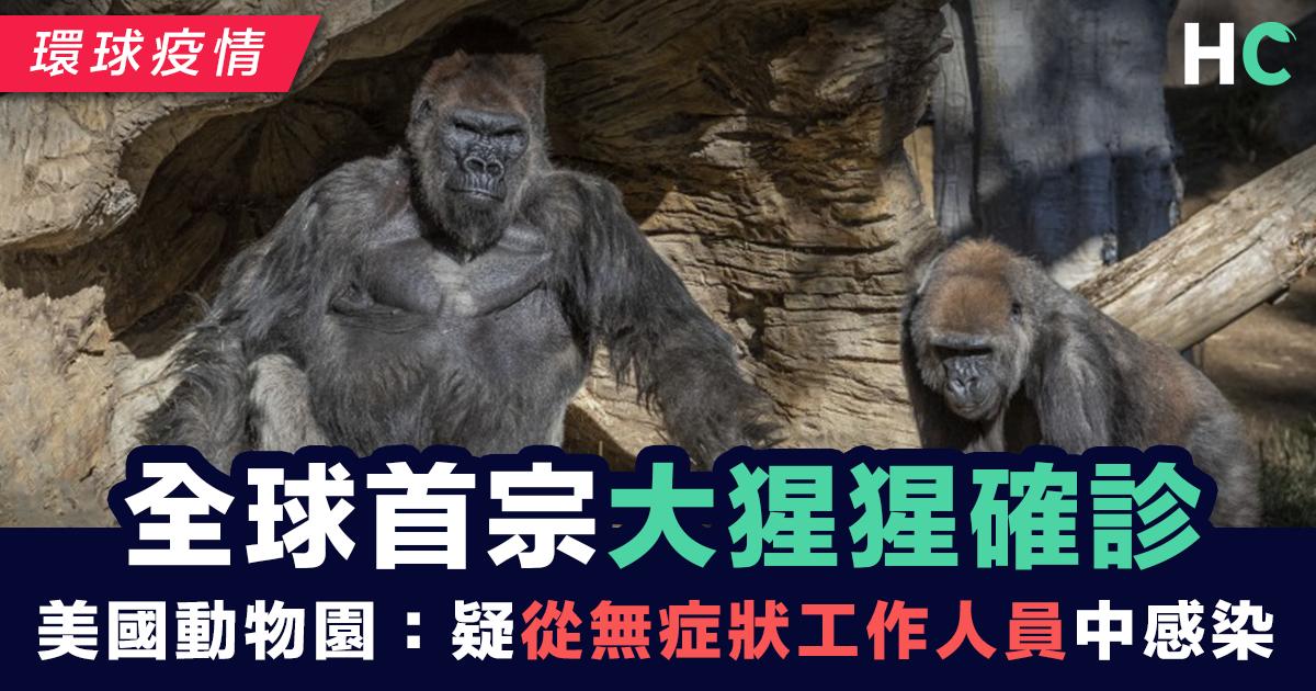 全球首宗大猩猩確診 美國動物園:疑從工作人員中感染